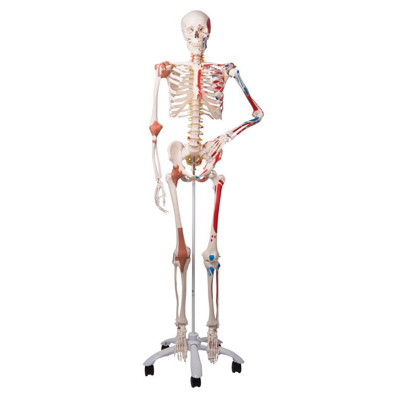 A3bs Sam The Super Human Skeleton Model Anatomical Models
