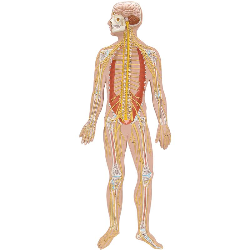 A3BS Half Life Size Nervous System | Anatomical Models