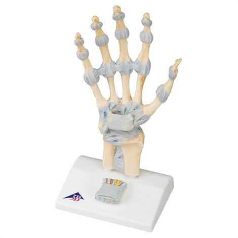 Buy A3BS Three Part Hand Skeleton Model with Ligaments and carpal tunnel