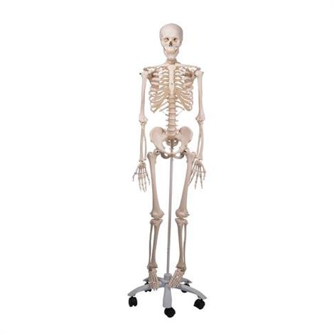 A3BS Standard anatomical Human skeleton Model