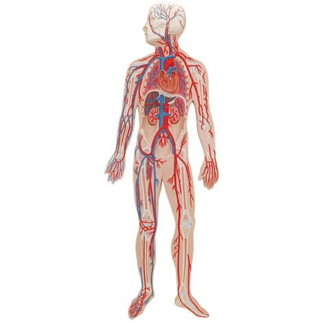 Buy A3BS Half Life Size Circulatory system