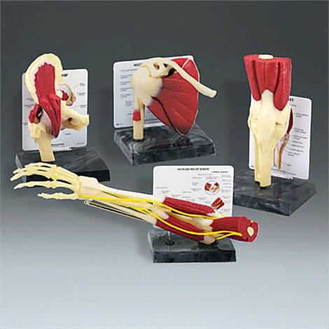 Buy Anatomical Model of Life Size Muscled Joint Set