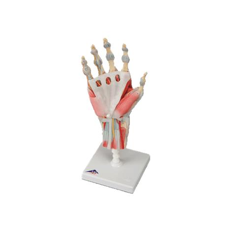 A3BS Four Part Hand Skeleton Model with Ligaments and Muscles