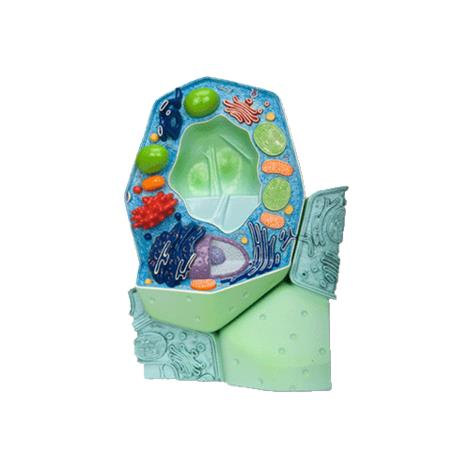 A3BS magnified Plant cell model