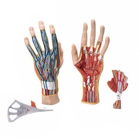 A3BS Three Part Internal Hand Structure Model