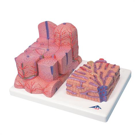 Buy A3BS Two Part Micro Anatomy Liver Model