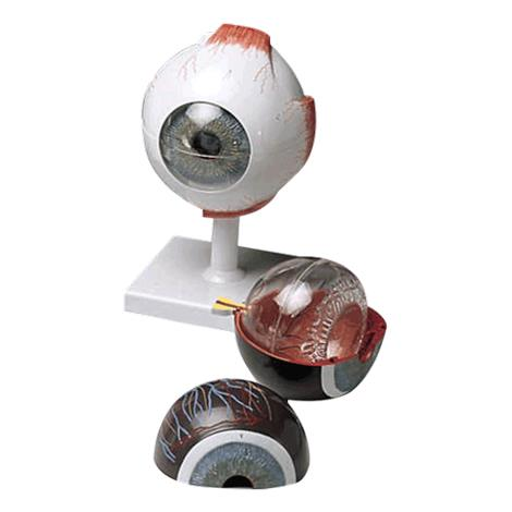 Anatomical Human Eye Model