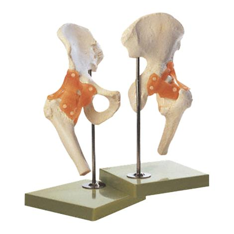 Anatomical Functional Right Hip Joint Model