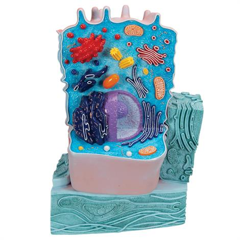 Buy A3BS Two Piece Animal cell model