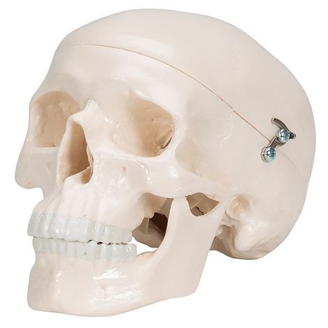 Buy A3BS Classic Three part Human Skull Model