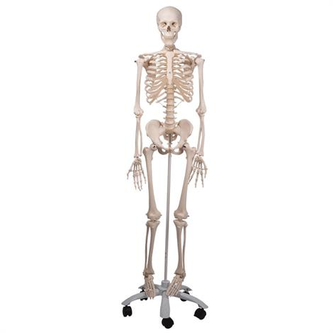 Buy A3BS Standard anatomical Human skeleton Model