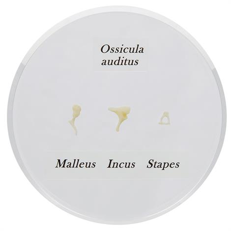 Buy A3BS Life-Size Auditory Ossicles