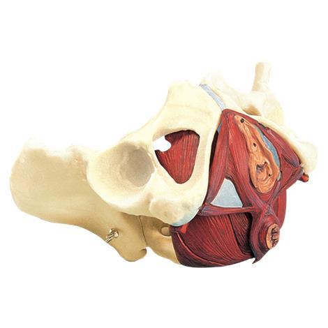 Anatomical Composite Pelvis and Pelvic Floor Model