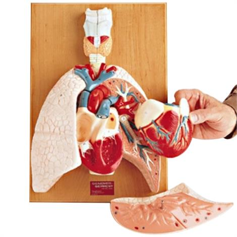 Anatomical Heart and Respiratory Organs Model