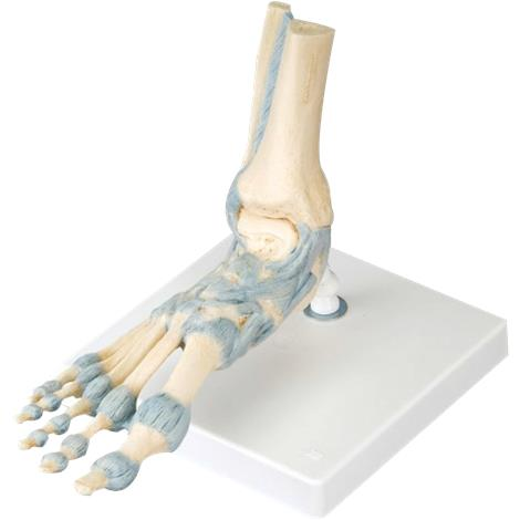 Buy A3BS Foot Skeleton Model with Ligaments