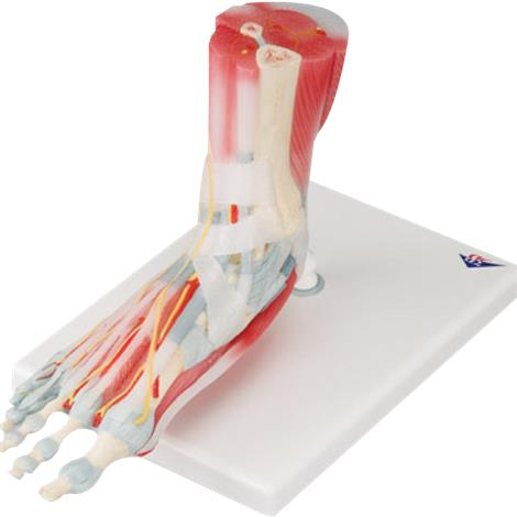 A3BS Foot Skeleton Model with Ligaments and Muscles