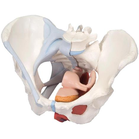 A3BS Four Part Female Pelvis With Ligaments And Muscle Organs Model