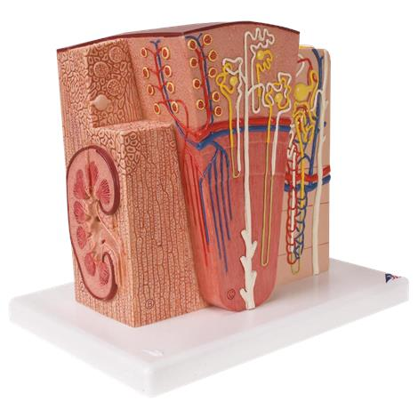 A3BS Microanatomy Kidney Model