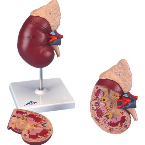 Buy A3BS Two Part Kidney with Adrenal Gland Model